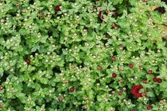 Groen kruid met dauwdruppel stock afbeelding