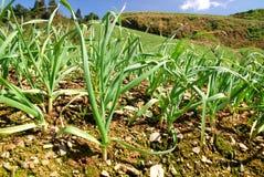 Groen landbouwbedrijf. royalty-vrije stock afbeelding