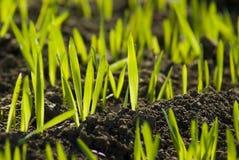Groen landbouwersgebied met korrel het groeien stock afbeelding