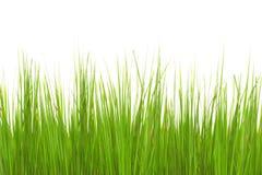 Groen lang die gras op witte achtergrond wordt geïsoleerd royalty-vrije stock afbeeldingen