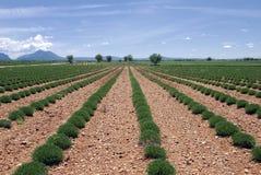 Groen lavendelgebied Royalty-vrije Stock Afbeeldingen