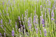 Groen lavendelgebied stock foto's