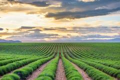 Groen lavendelgebied Royalty-vrije Stock Foto's