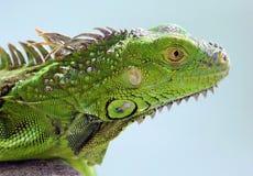 Groen Leguaan mannelijk mooi veelkleurig dierlijk, kleurrijk reptiel in Zuid-Florida stock foto