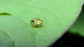 Groen lieveheersbeestje op bladeren stock video