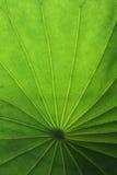 Groen lotusbloemblad Royalty-vrije Stock Afbeeldingen