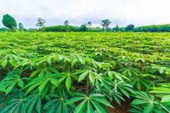 Groen maniokgebied Stock Foto's