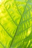 Groen met gele Caladium leaf2 Stock Foto's