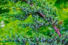 Groen, met weerhaken en zacht stock afbeelding