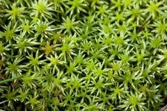 Groen mos Stock Fotografie