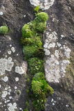 Groen mos stock foto
