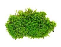 Groen Mos Stock Afbeeldingen