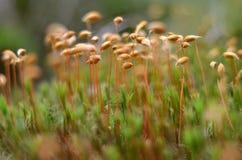 Groen Mos De commune van Polytrichum royalty-vrije stock afbeeldingen