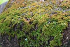 Groen mos in de tuin stock afbeelding