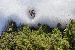 Groen mos en witte sneeuw, de lente en zon, natuurlijke achtergrond stock foto's
