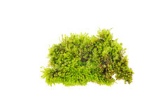 Groen mos, Heldergroen mos stock foto's
