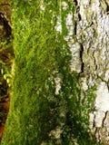 Groen mos op berk stock afbeeldingen