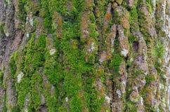 Groen mos op boomschors Stock Foto's