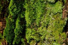 Groen Mos op de Boom Bemoste schorsachtergrond Royalty-vrije Stock Afbeelding