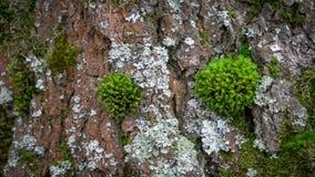 Groen mos op de oude boom in de lentebos stock foto's