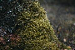groen mos op een boom in het bosclose-up Oppervlakte die met mos wordt behandeld Macromos Mos in het bos royalty-vrije stock foto