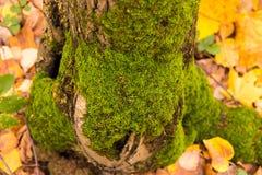 Groen mos op een boomboomstam tegen een achtergrond van gevallen gele bladeren Stock Afbeeldingen