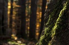 Groen mos op een grote boomboomstam in de herfstlicht in een donker bos Stock Foto's