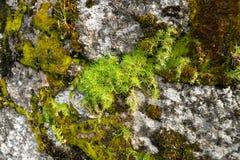 Groen mos op een rots stock afbeelding