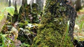Groen mos op een stomp van de berkboom stock footage