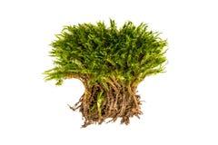 Groen mos op een witte achtergrond Mos met geïsoleerde wortels royalty-vrije stock afbeeldingen