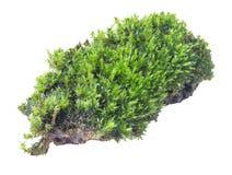 Groen mos op grijze achtergrond, het knippen weg royalty-vrije stock afbeeldingen