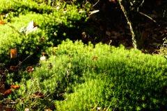 Groen mos in zon in bos Royalty-vrije Stock Afbeelding