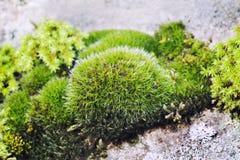 Groen mosstilleven op steenachtergrond, de Mooie oppervlakte van de rotsinstallatie, ondiepe diepte van gebied Selectieve nadruk Stock Foto