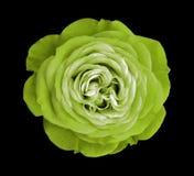 Groen nam bloem toe zwarte geïsoleerde achtergrond met het knippen van weg nave Close-up geen schaduwen Royalty-vrije Stock Fotografie
