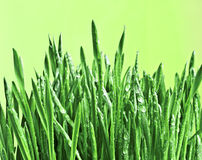 Groen nat gras. Stock Foto