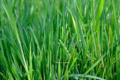 Groen natuurlijk gras royalty-vrije stock foto