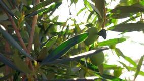 Groen olijftakje in Mediterrane tuin stock footage