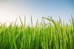 Groen oor van rijst in padiepadieveld Royalty-vrije Stock Foto