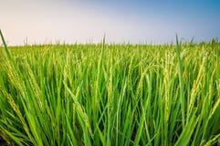 Groen oor van rijst in padiepadieveld Royalty-vrije Stock Afbeeldingen