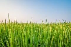 Groen oor van rijst in padiepadieveld Royalty-vrije Stock Fotografie