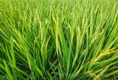 Groen oor van rijst in padiepadieveld Stock Afbeelding