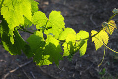 Groen op de Wijnstok Stock Afbeeldingen