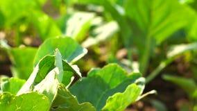 Groen organisch moestuinlandbouwbedrijf stock footage