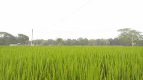 Groen padiegebied in Bangladesh stock afbeelding