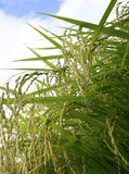 Groen padieveld royalty-vrije stock foto