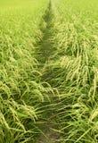 Groen padieveld Royalty-vrije Stock Afbeeldingen