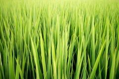 Groen padieveld Stock Afbeelding