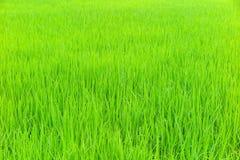 Groen padieveld Royalty-vrije Stock Fotografie