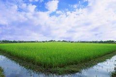 Groen padieveld Stock Foto's