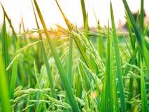 Groen padieveld Stock Afbeeldingen